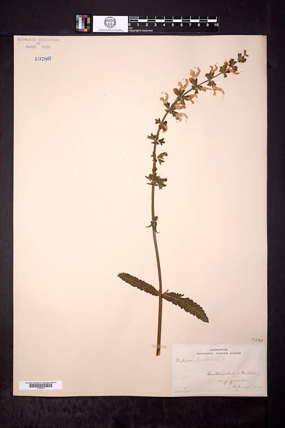 Salvia pratensis image