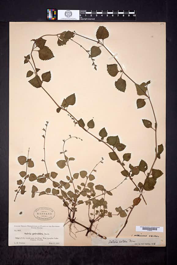 Salvia setosa image