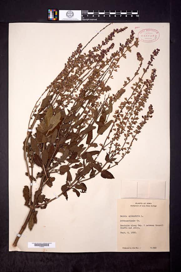 Salvia × sylvestris image