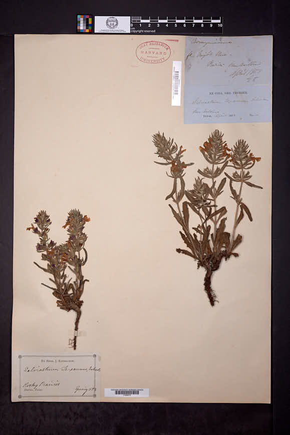 Salvia texana image