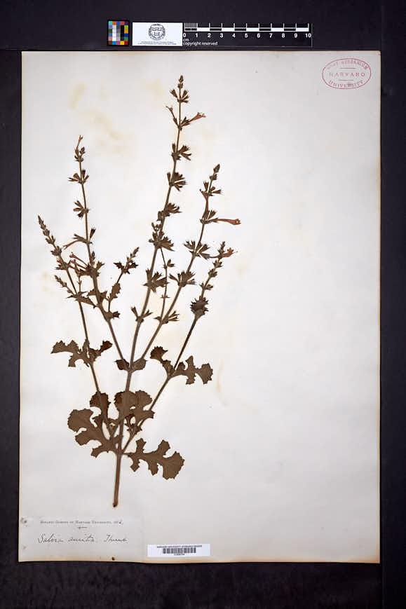 Image of Salvia aurita