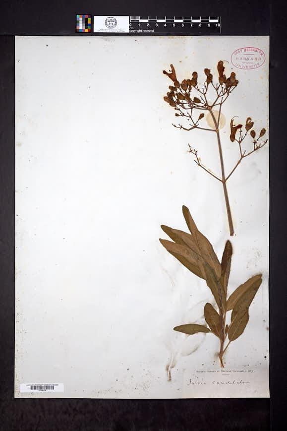 Salvia candelabrum image
