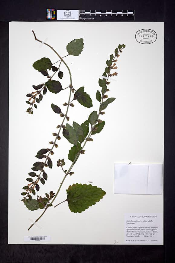 Image of Scutellaria albida