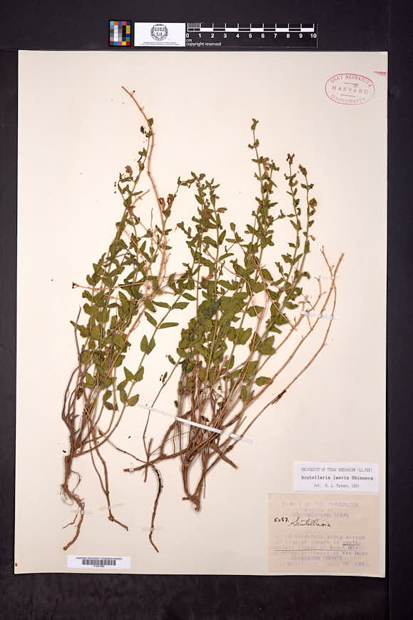 Image of Scutellaria laevis