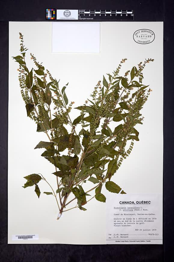 Scutellaria lateriflora f. albiflora image