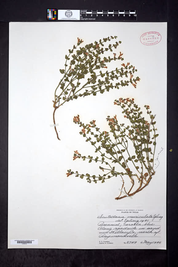 Scutellaria muriculata image