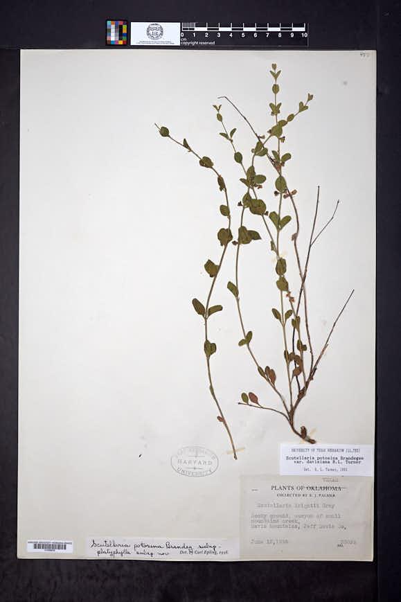 Scutellaria potosina var. davisiana image
