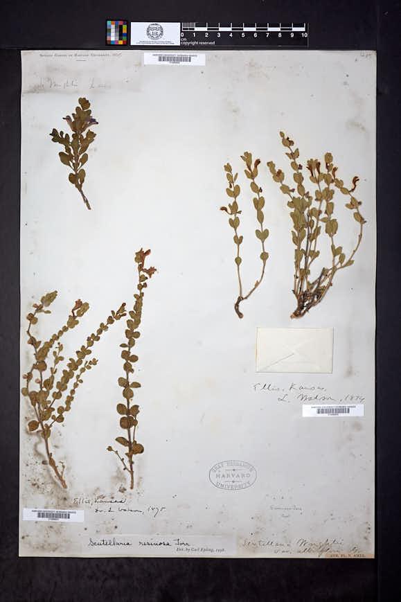 Scutellaria resinosa image