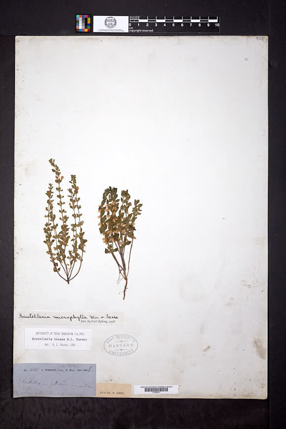 Image of Scutellaria texana
