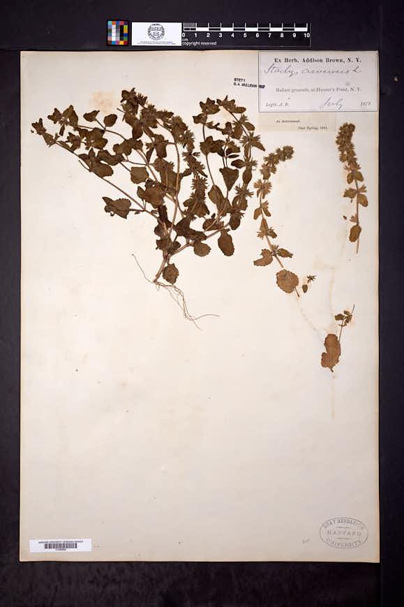 Stachys arvensis image