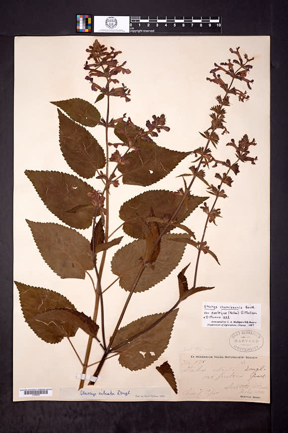 Stachys chamissonis var. cooleyae image