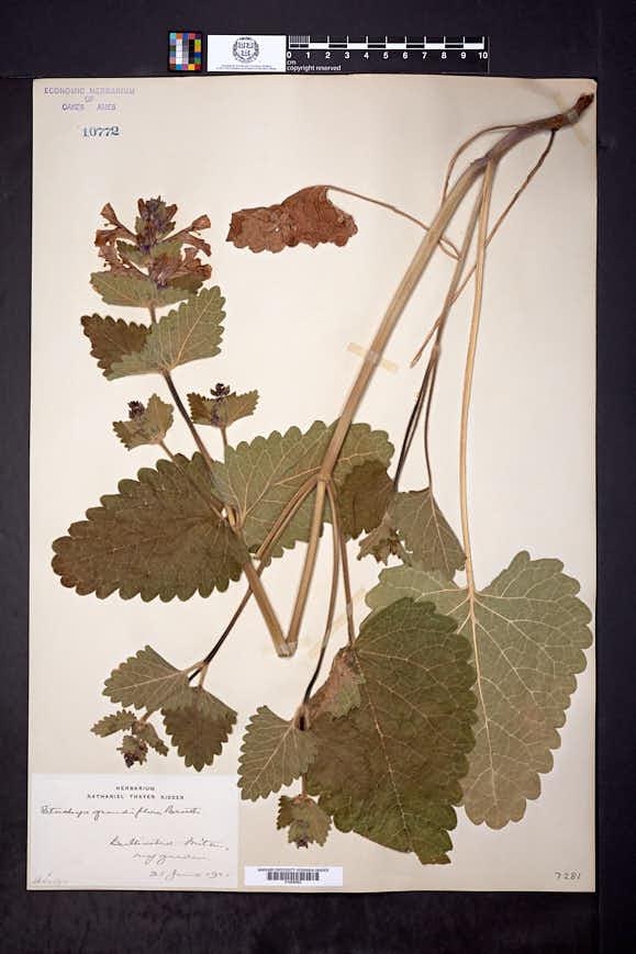 Stachys grandiflora image