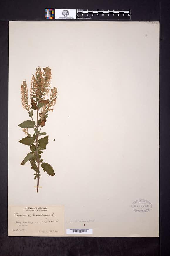 Teucrium scorodonia image