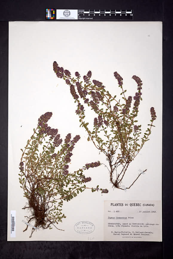 Thymus pulegioides subsp. pulegioides image