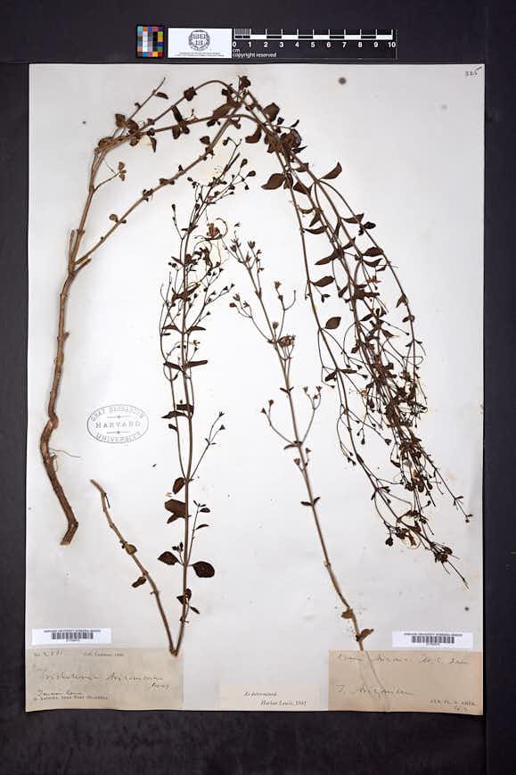 Trichostema arizonicum image