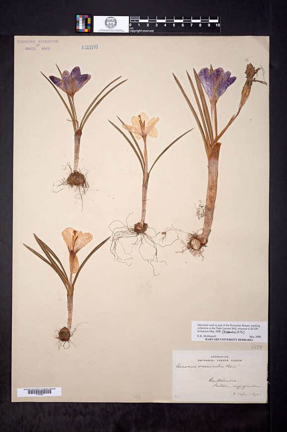 Crocus versicolor image