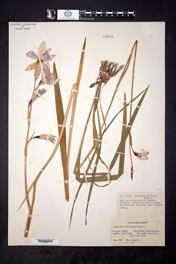 Image of Gladiolus carneus