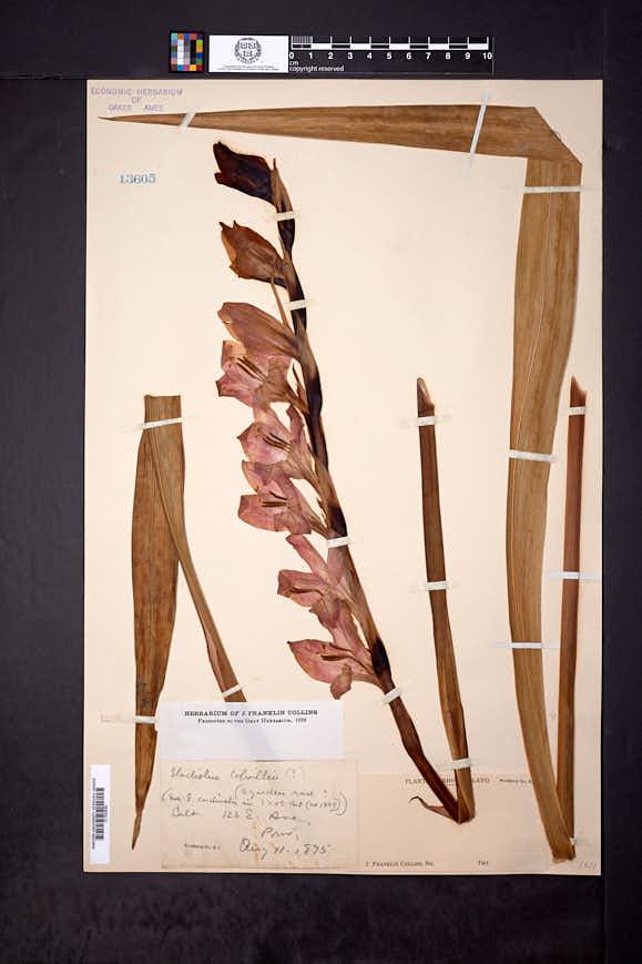 Image of Gladiolus colvillei