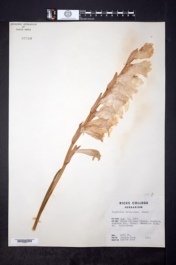 Image of Gladiolus primulinus
