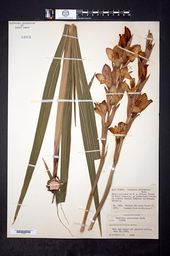 Gladiolus dalenii image