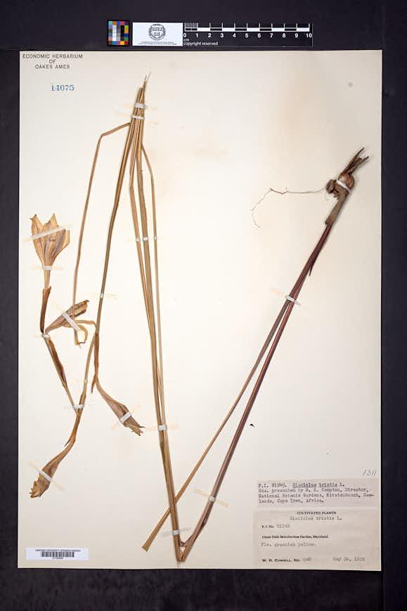 Gladiolus tristis image