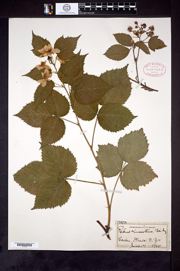 Rubus minnesotanus image