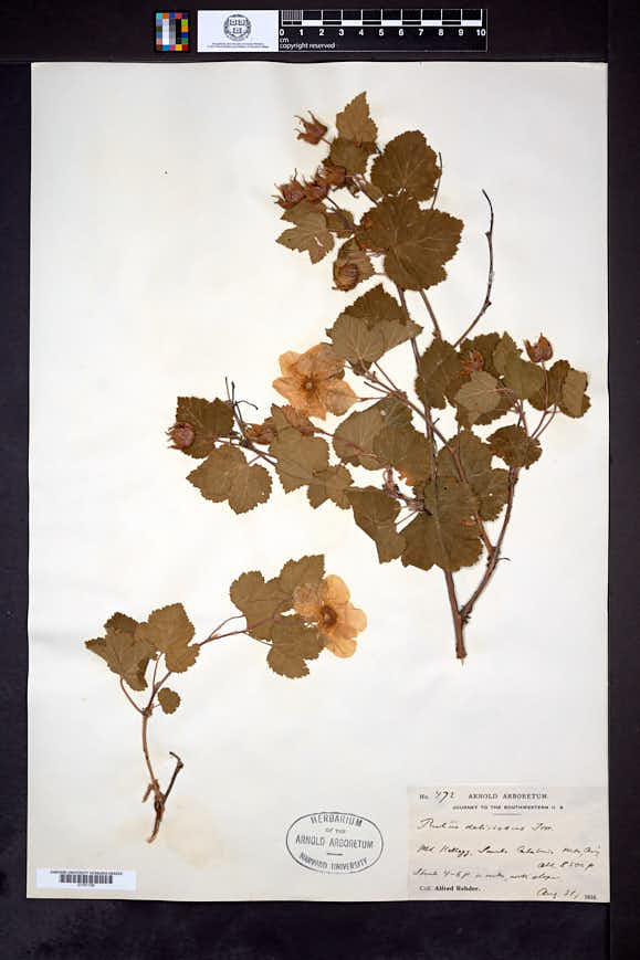 Rubus neomexicanus image