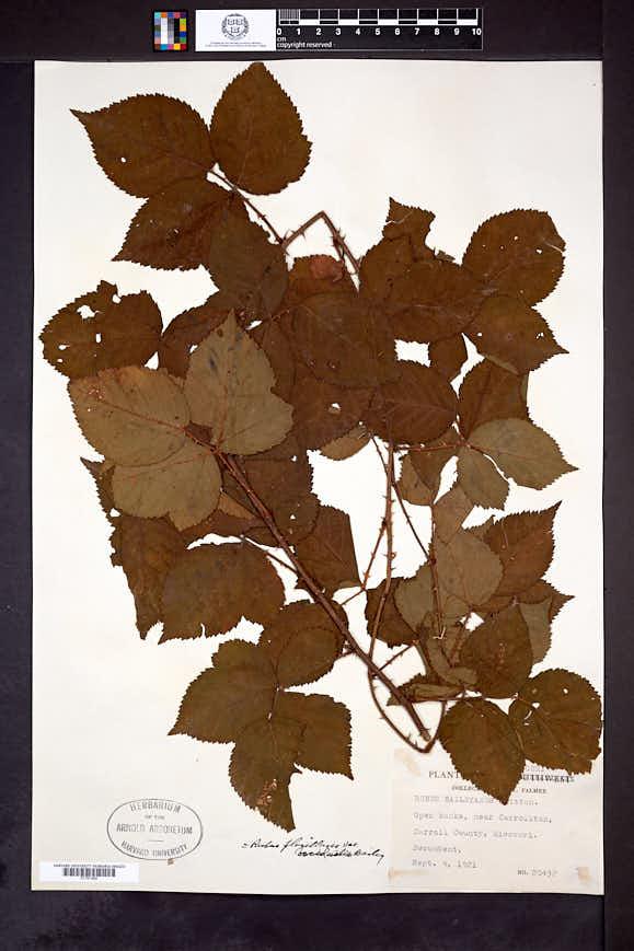 Rubus occidualis image