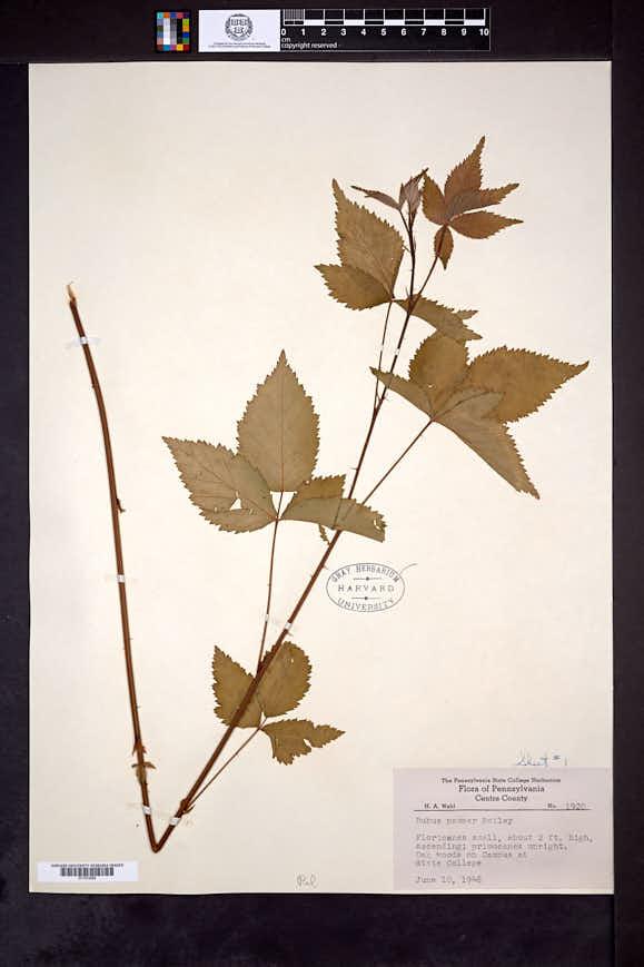 Rubus pauper image