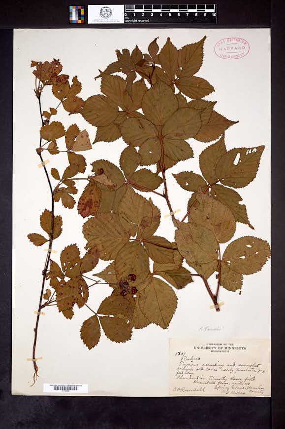 Rubus rosendahlii image