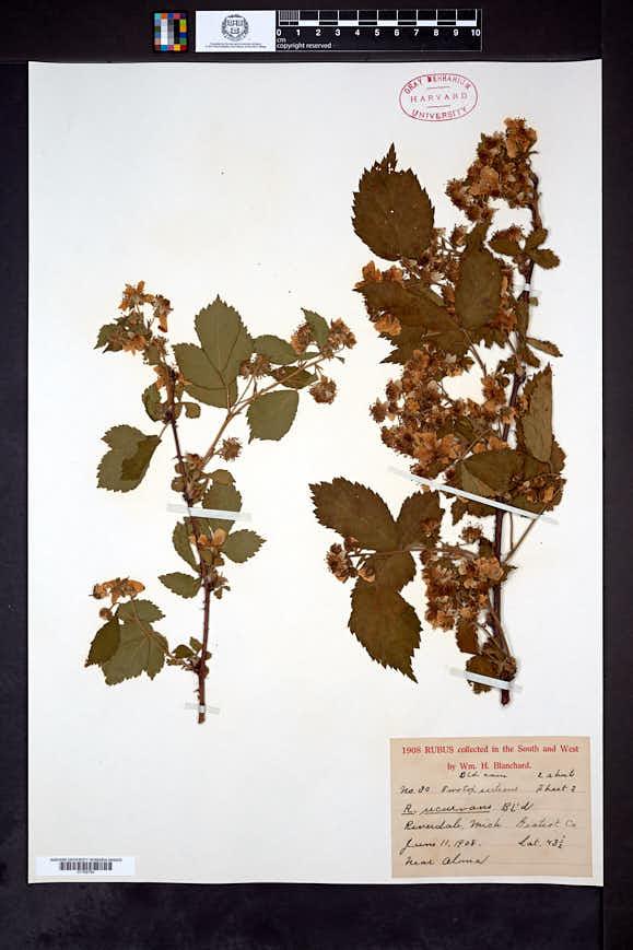Rubus recurvans image
