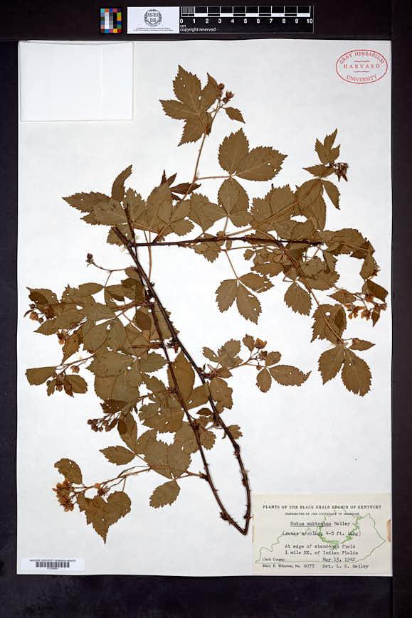 Rubus subtentus image