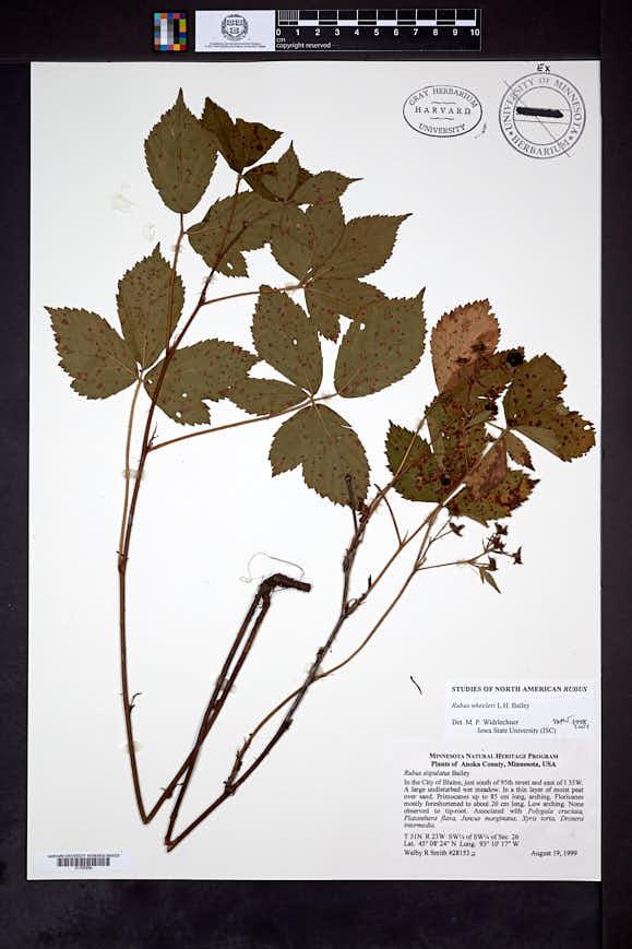 Rubus semisetosus var. wheeleri image