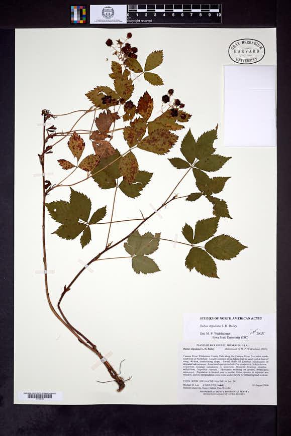 Rubus stipulatus image