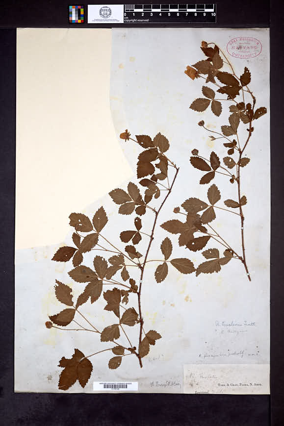 Rubus tracyi image