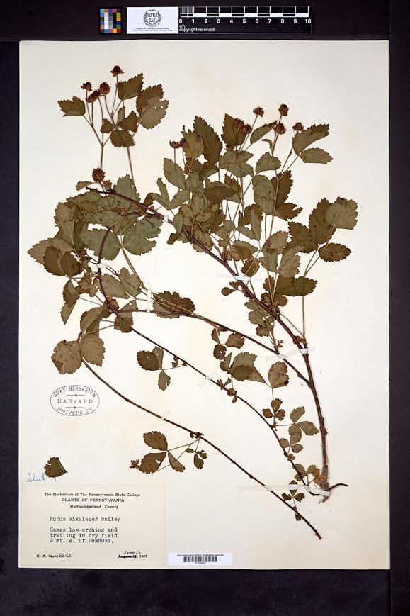 Rubus vixalacer image