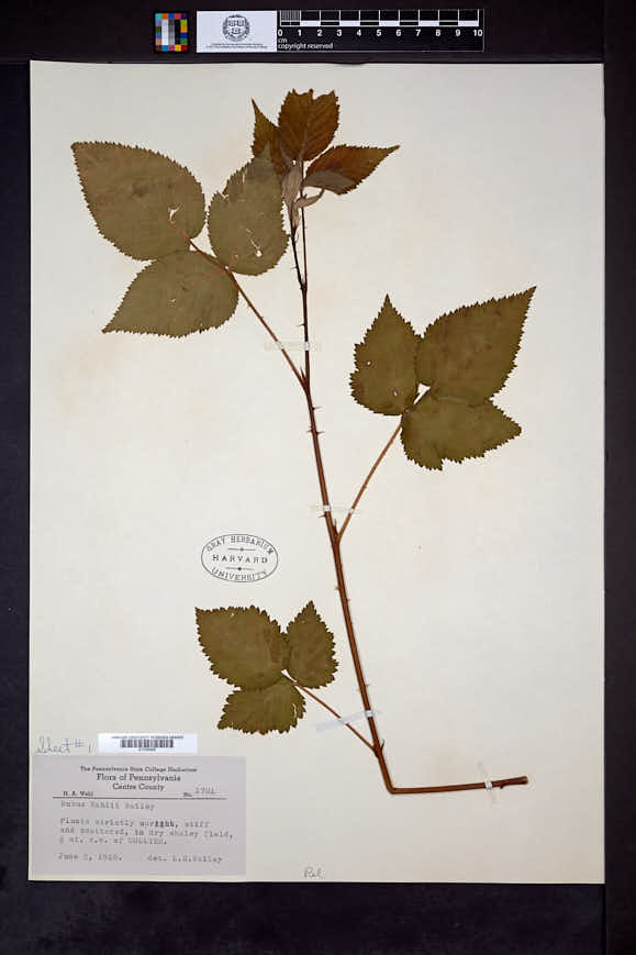 Rubus wahlii image