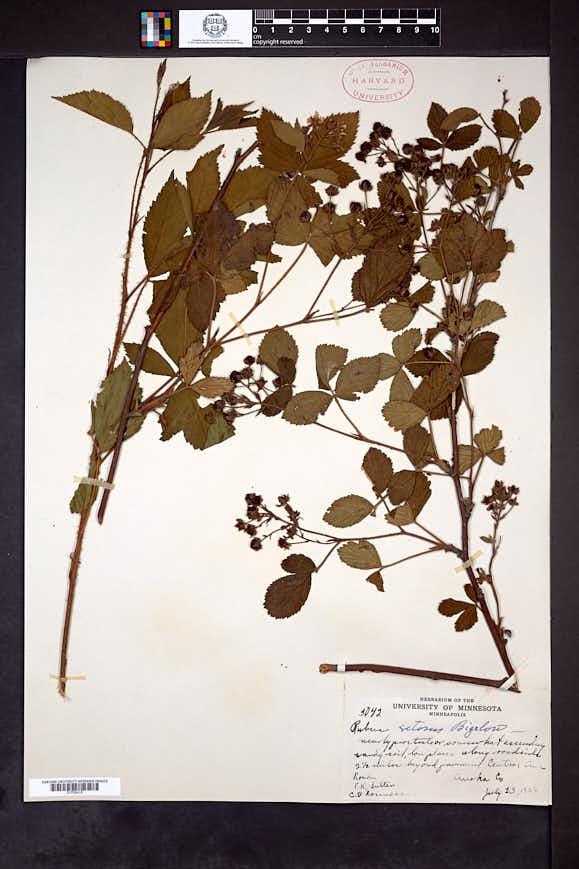 Rubus wheeleri image
