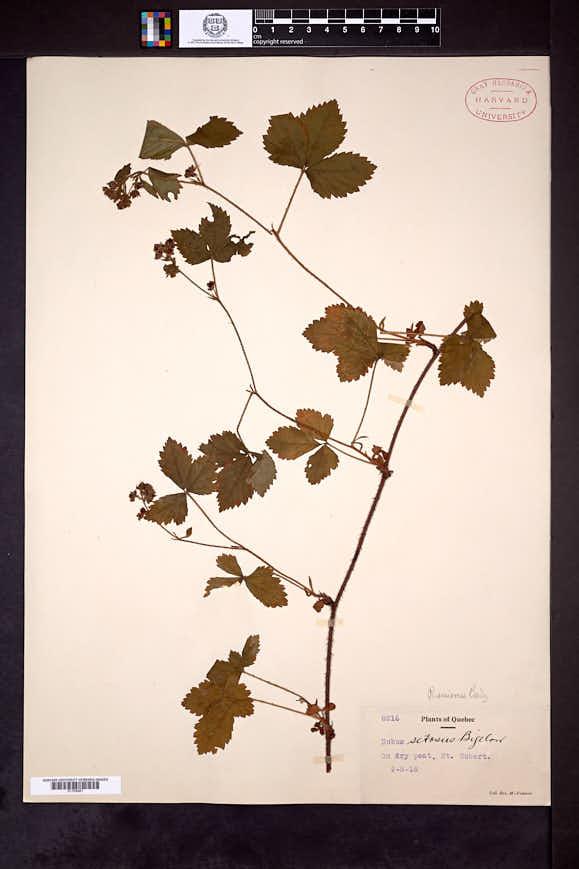 Rubus univocus image