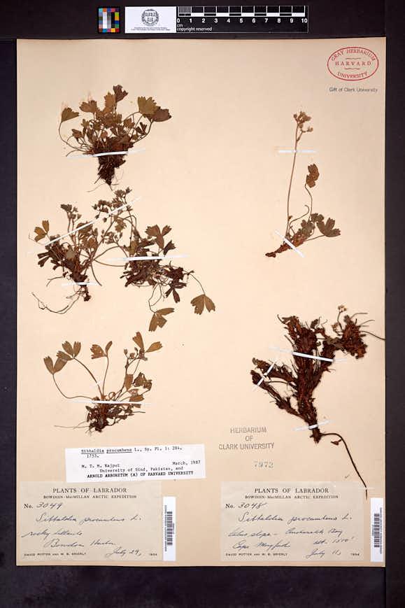 Sibbaldia procumbens image