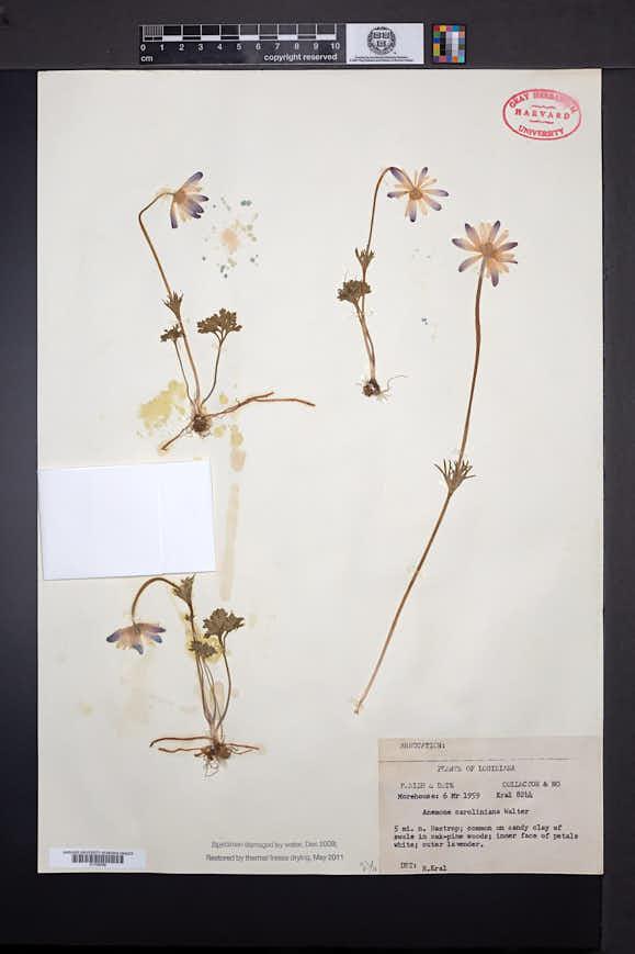 Anemone caroliniana image