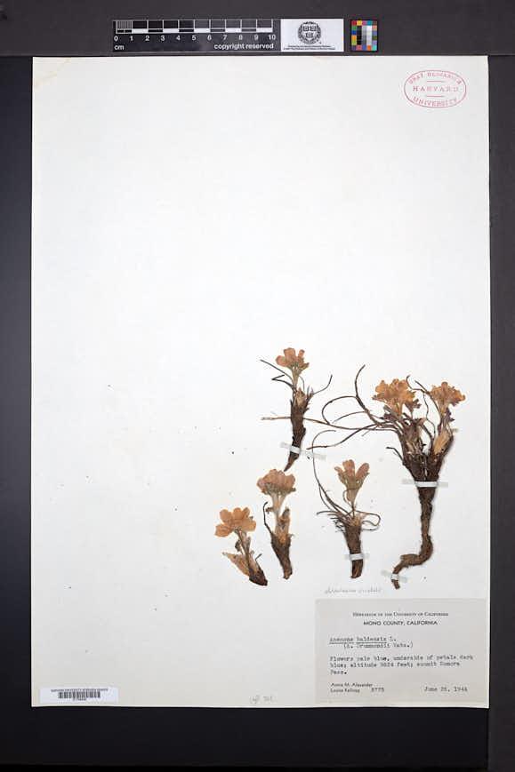 Anemone drummondii image