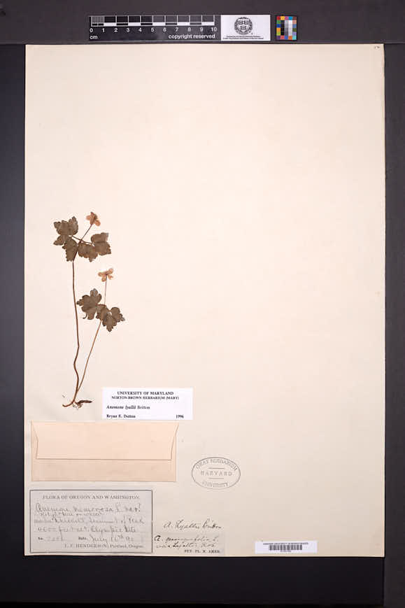 Anemone lyallii image
