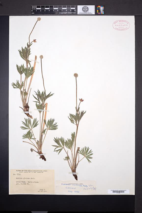Anemone multifida image