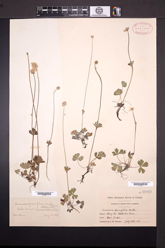 Anemone parviflora image