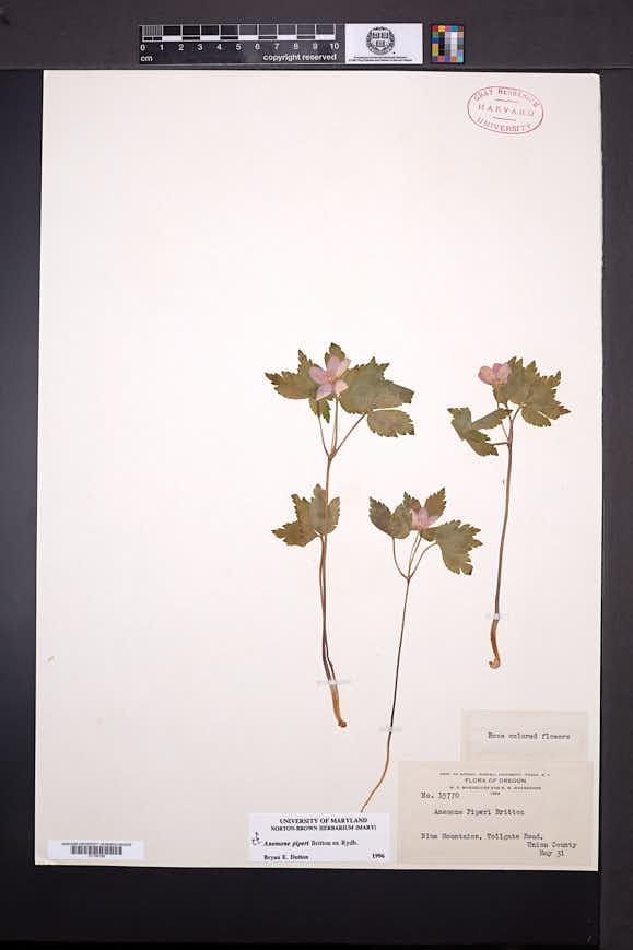 Anemone piperi image