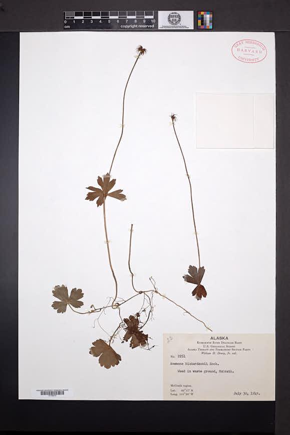 Anemone richardsonii image