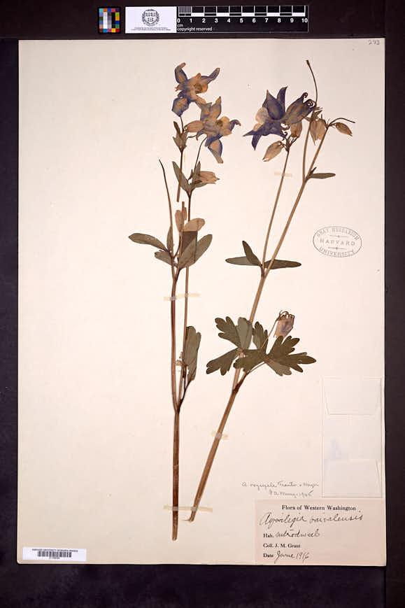 Image of Aquilegia oxysepala