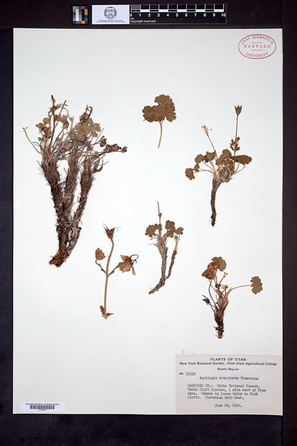 Aquilegia scopulorum image