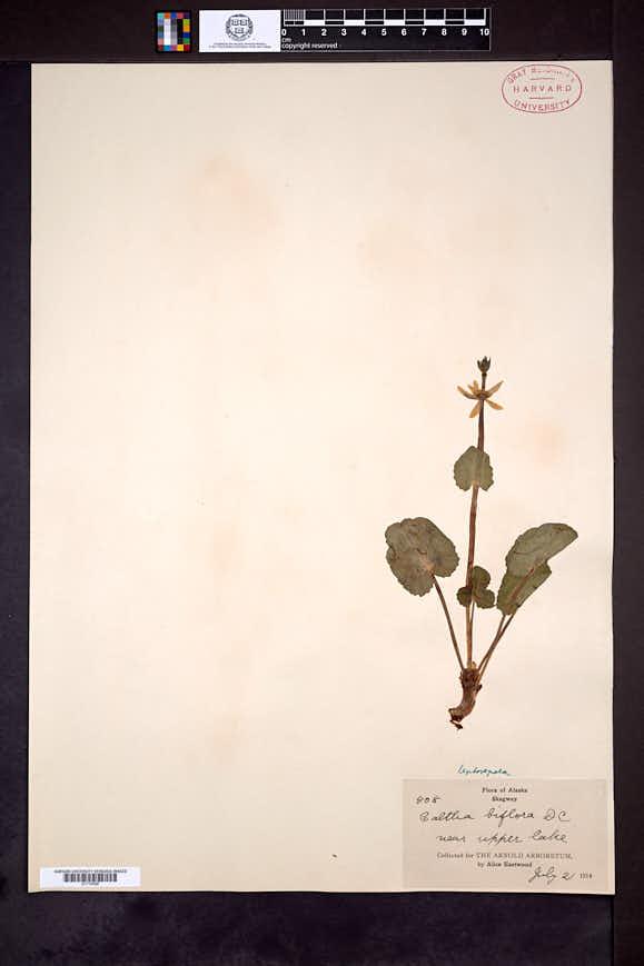 Caltha leptosepala image